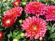 Хризантема для сада оптом
